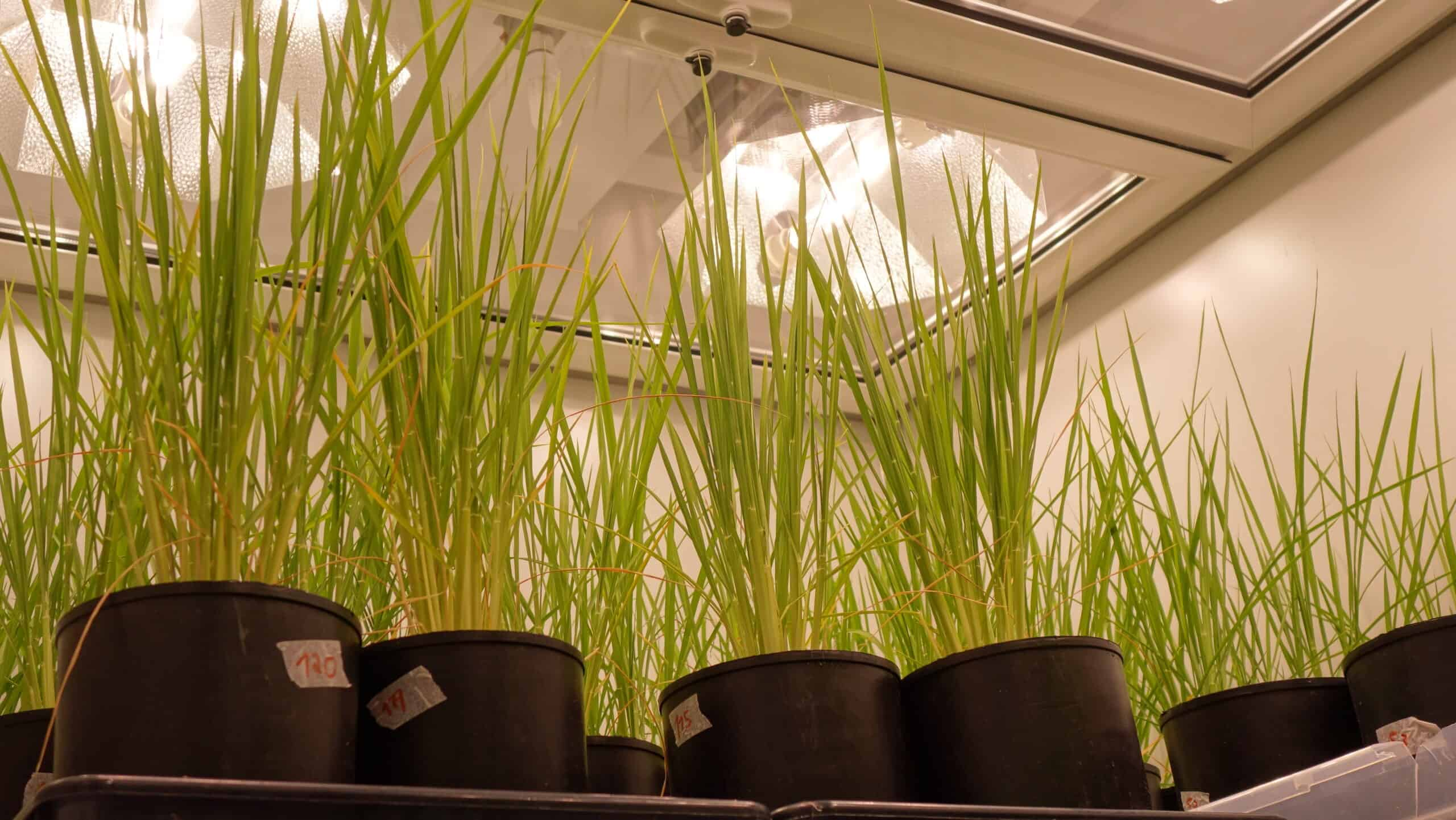 Aralab-Growth-Room-Rice-Growth-Chamber-ITQB_19-scaled